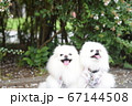 笑顔が素敵な可愛い白いポメラニアン 67144508