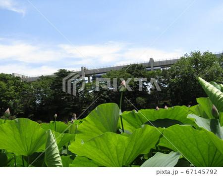 千葉公園のオオガハスの桃色の蕾 67145792