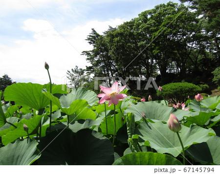 千葉公園のオオガハスの桃色の花と蕾 67145794