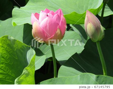 千葉公園のオオガハスの桃色の花と蕾 67145795