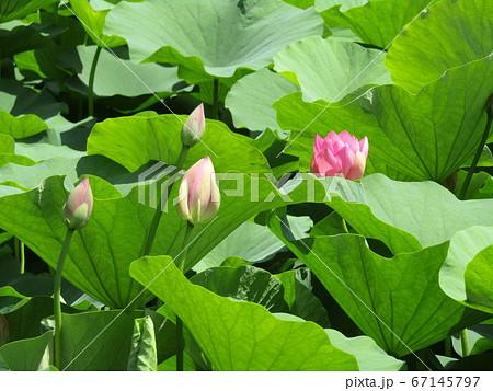 千葉公園のオオガハスの桃色の花と蕾 67145797