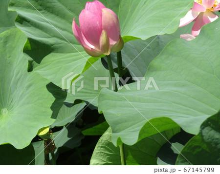 千葉公園のオオガハスの桃色のもう直ぐ咲く蕾 67145799