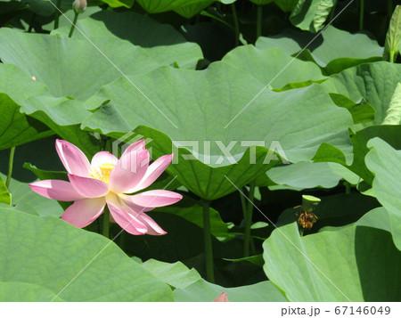 千葉公園のオオガハスの桃色の花 67146049