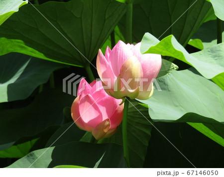 千葉公園のオオガハスの桃色の開き始めた花 67146050
