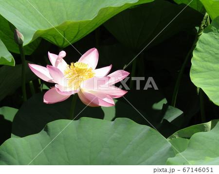 千葉公園のオオガハスの桃色の花 67146051
