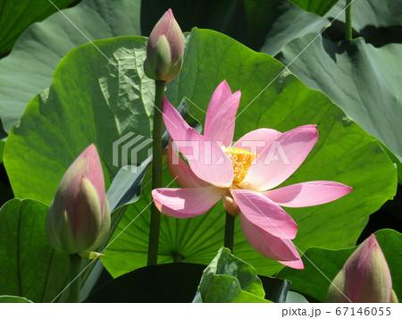 千葉公園のオオガハスの桃色の花と蕾 67146055