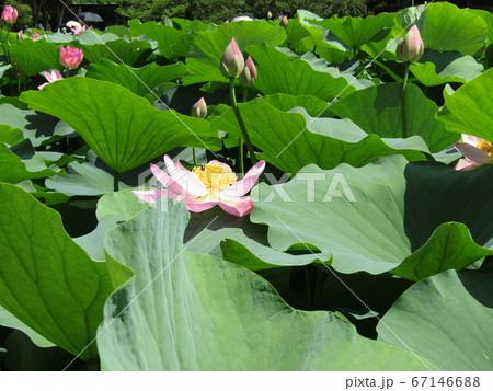 千葉公園のオオガハスの桃色の花と蕾 67146688