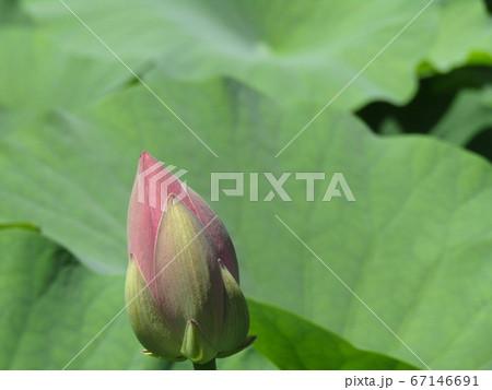 千葉公園のオオガハスの桃色の蕾 67146691