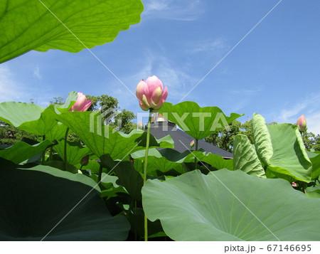 千葉公園のオオガハスの桃色の蕾 67146695