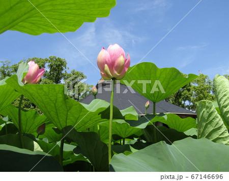千葉公園のオオガハスの桃色の蕾 67146696
