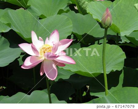 千葉公園のオオガハスの桃色の花と蕾 67147079