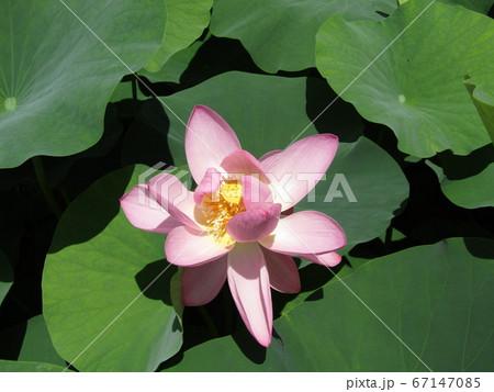 千葉公園のオオガハスの桃色の花 67147085