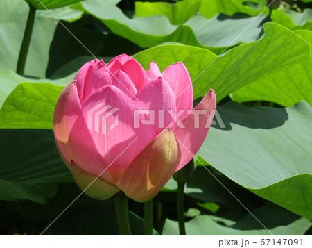 千葉公園のオオガハスの桃色の開き始めた花 67147091