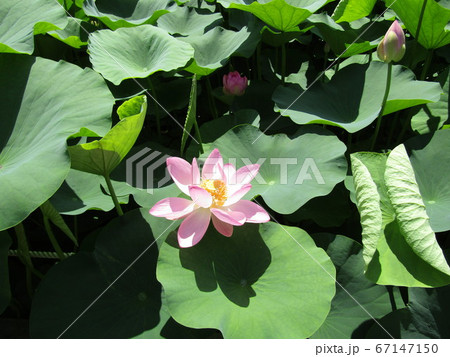 千葉公園のオオガハスの桃色の花 67147150