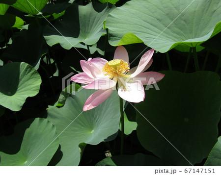 千葉公園のオオガハスの桃色の花 67147151