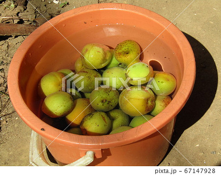 梅の実の収穫 67147928