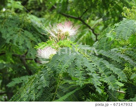 ネムノキの花の写真が撮れました 67147932