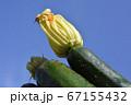 種から育てたズッキーニ、花と実、家庭菜園、畑、野菜イメージ素材 67155432