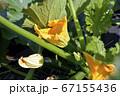 種から育てたズッキーニ、花と実、家庭菜園、畑、野菜イメージ素材 67155436