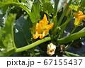 種から育てたズッキーニ、花と実、家庭菜園、畑、野菜イメージ素材 67155437