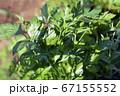 風味や香りが柔らかく、使い勝手の良いイタリアンパセリ、収穫、家庭菜園、畑、野菜、ハーブイメージ素材 67155552