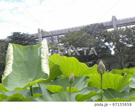 千葉公園のオオガハスの蕾 67155658