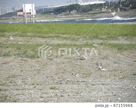 検見川浜営巣地で抱卵中のコアジサシ 67155668