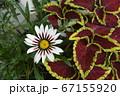 コリウスとガザニア、金襴紫蘇、勲章菊、花イメージ素材 67155920