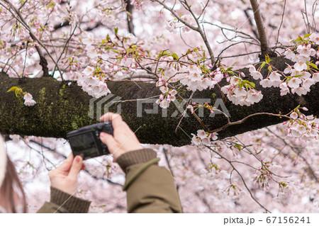 満開の桜の花をカメラで撮影する女性の後ろ姿 67156241