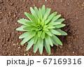 ユリの葉、これからぐんと伸びていく、家庭菜園、畑、花畑、季節の花イメージ素材 67169316