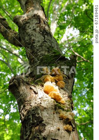 ブナ古木にキノコが発生-癒しの森 福島県只見町 67169461