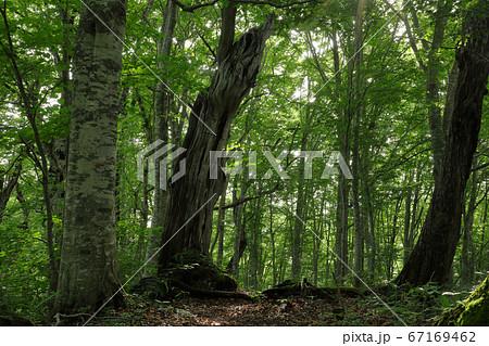 初夏のブナの森-癒しの森 福島県只見町 67169462
