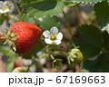苺の花と実、収穫、家庭菜園、畑、野菜、果物イメージ素材 67169663