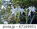 畑の片隅に咲く、アフリカ浜木綿、花イメージ素材 67169951