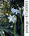 畑の片隅に咲く、アフリカ浜木綿、花イメージ素材 67169953
