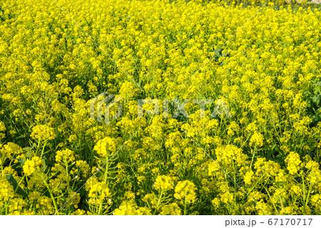 菜の花畑 撮影地:群馬県高崎市鼻高展望花の丘 67170717