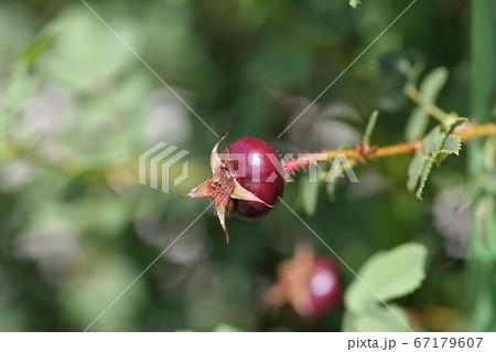 バラの熟した果実、人気の園芸植物 67179607