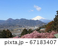 春の河津桜と富士山 67183407