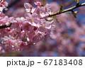 綺麗なピンク色の河津桜の花びら 67183408