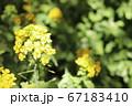 春の菜の花 67183410