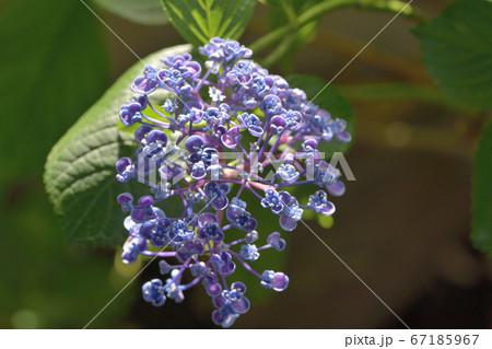 花びらが丸まった紫色の最近の品種のアジサイの花 67185967