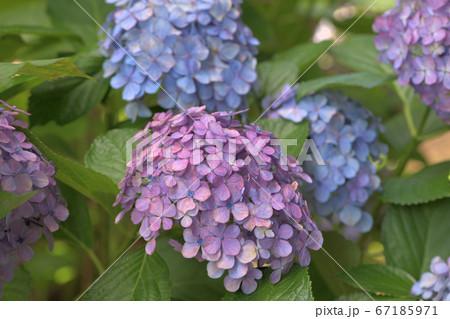手前には渋いピンク紫のアジサイ、後ろには青っぽいアジサイの花 67185971