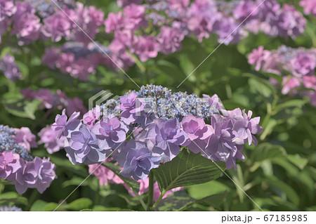 ピンク色のお花畑のように咲く紫陽花 67185985
