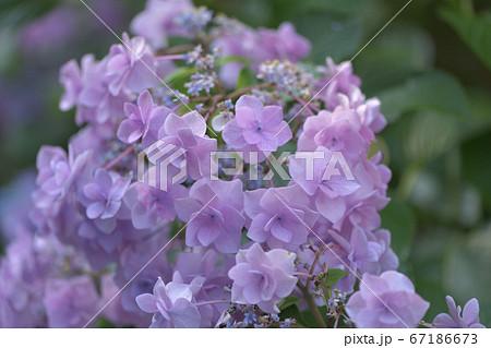 花菜の尖った淡いピンク紫の変わり種あじさい 67186673