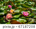 Red water lily AKA Nymphaea alba f. rosea in a lake 67187208