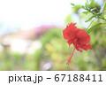 沖縄のハイビスカス 67188411