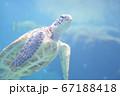 美ら海水族館のウミガメ 67188418