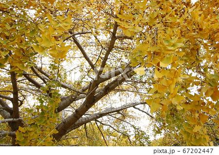 紅葉した銀杏の木の風景 (愛知県祖父江町) 67202447