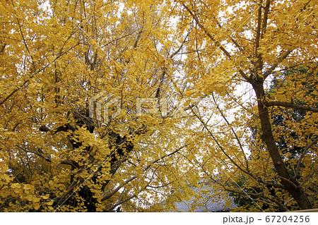 紅葉した銀杏の木のアップ (愛知県祖父江町) 67204256