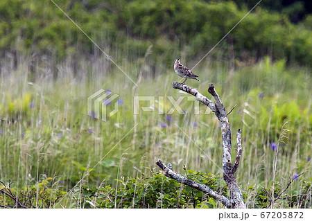 原生花園の枯れ木に止まるオオジシギ 67205872